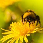 Propolis - kit pszczeli